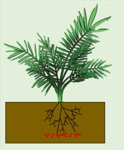 Field Planting - Oil Palm Fertilizer Application