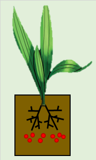 Main Nursery (Polybag) - Oil Palm Fertilizer Application